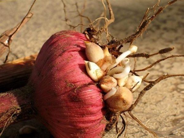 Здоровая луковица с детками