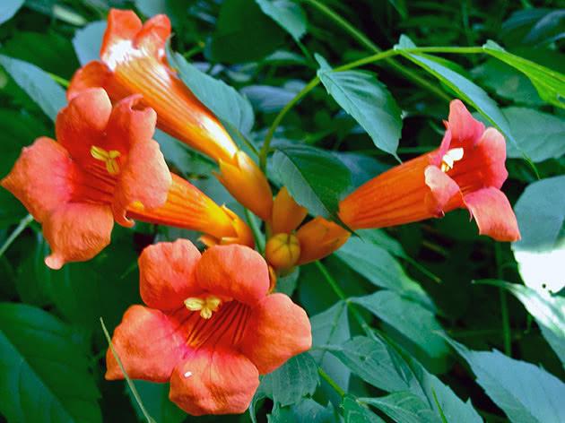 Кампсис укореняющийся (Campsis radicans)