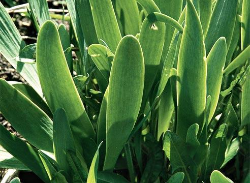 Лук Слизун обладает толстыми и сочными листьями