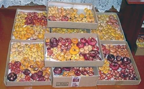 Луковицы готовятся к посадке после зимней спячке