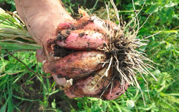 Луковицы лука Шалотт склонны к срастанию