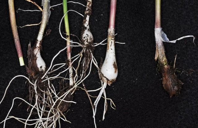 Луковицы лука Шнитт имеют крайне небольшие размеры