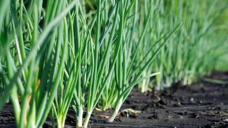 Лучше всего уральский семейный лук растет на супесчаных почвах