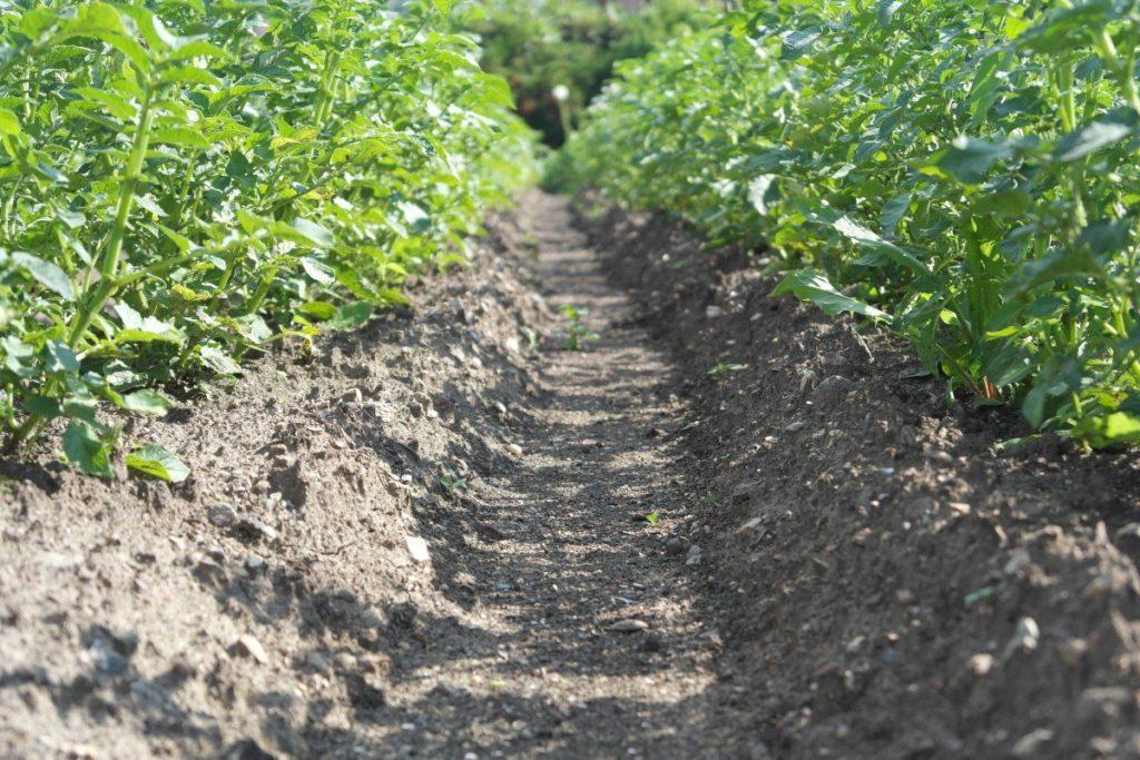 Место выращивания картофеля нужно постоянно менять