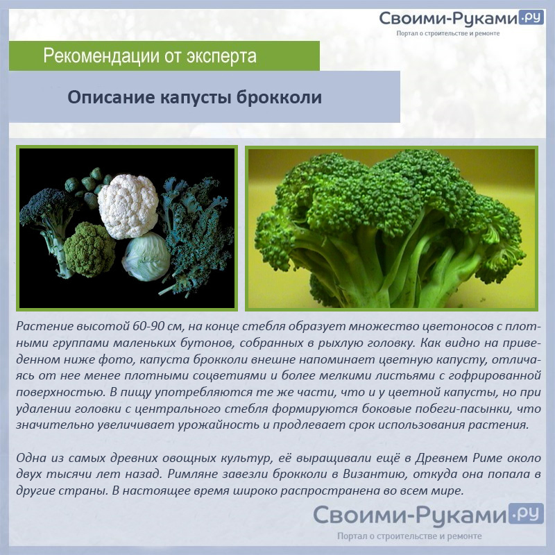 Описание капусты брокколи