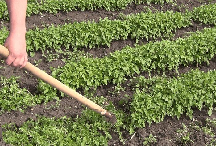 Особенности выращивания горчицы