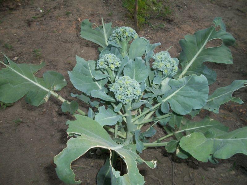 Особенности капусты брокколи