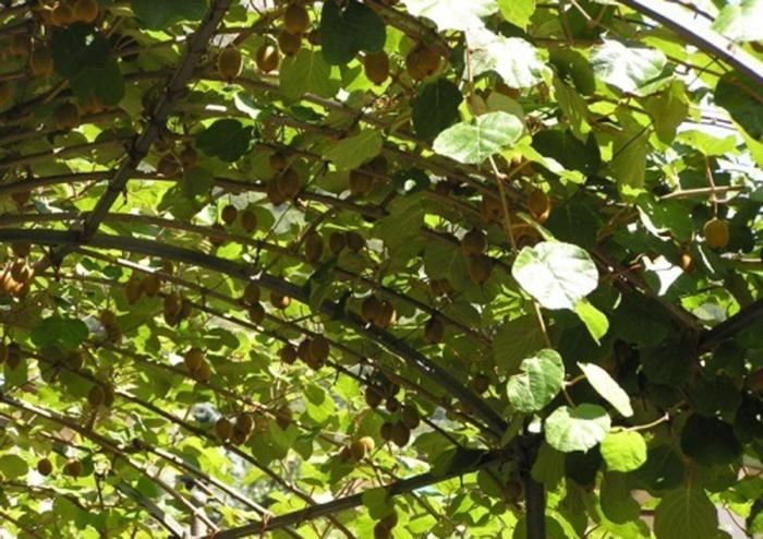Плоды культуры напоминают киви