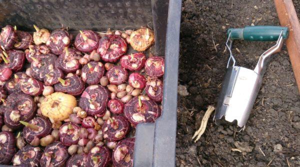 Подготовленные к посадке луковицы гладиолусов