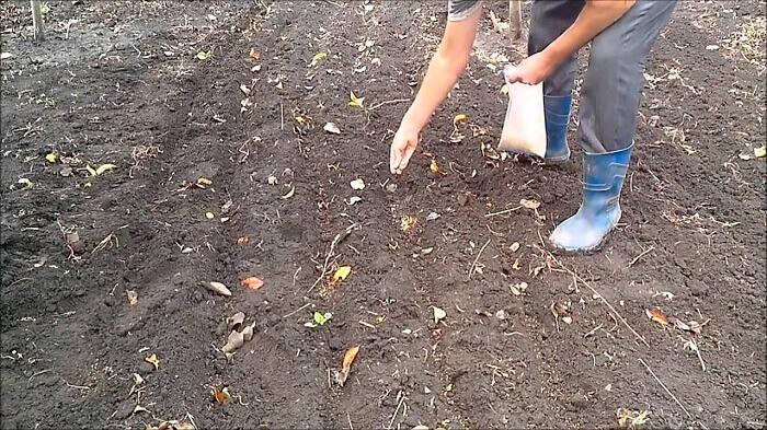 Посев горчицы