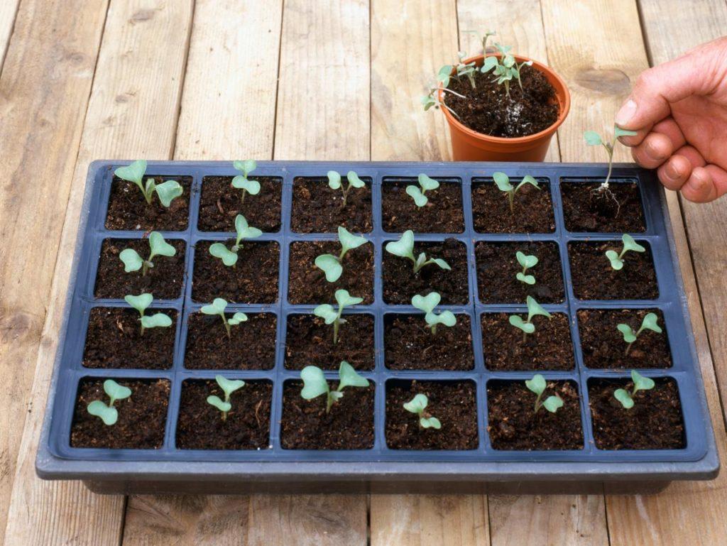 Правила ухода за рассадой брокколи