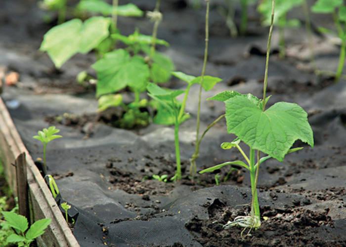 При высадке огурцов в почву важно соблюдать оптимальное расстояние между сеянцами или семенами