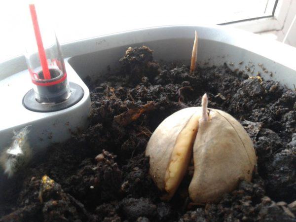 Размещение косточки в земле