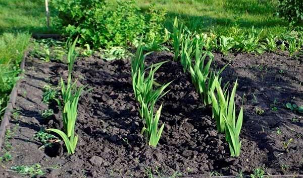 Рыхление и борьба с сорняками очень важны на начальном этапе роста