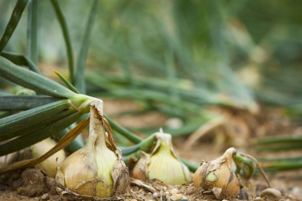 Сажать луковицы следует заблаговременно