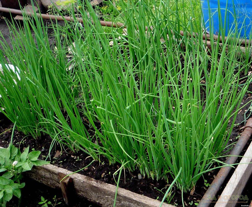 Собирать зелень с лука Шнитт можно в течение пяти-шести месяцев