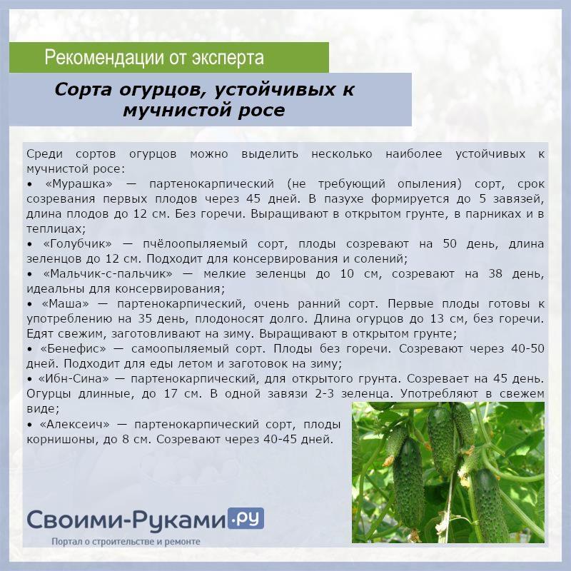 Сорта огурцов устойчивых к мучнистой росе