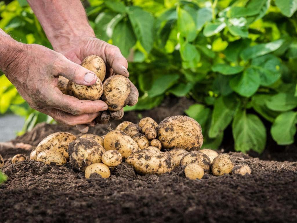 Состояние почвы имеет для картофеля очень большое значение