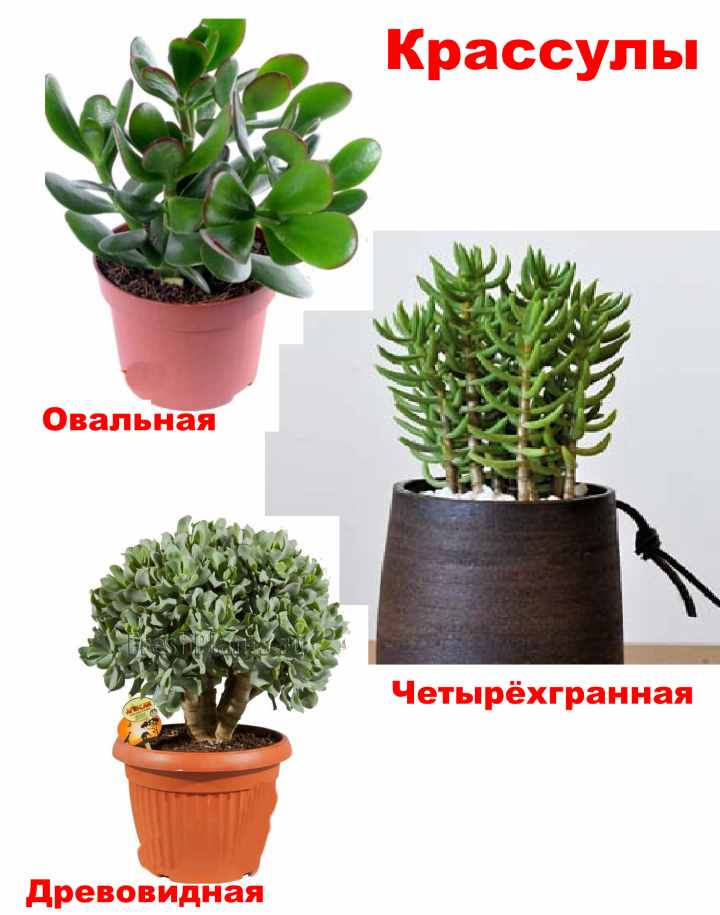 Три вида денежного дерева