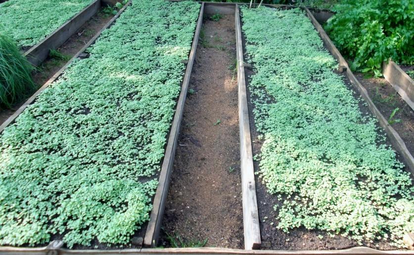 Улучшение почвы с помощью горчицы