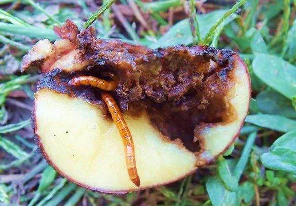 Уничтоженный картофель