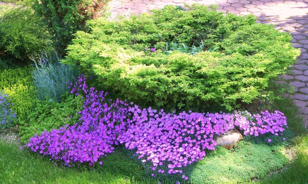 Несмотря на то, что эти растения светолюбивы, они прекрасно растут и в тени, однако слишком тёмные участки плохо влияют на соцветия