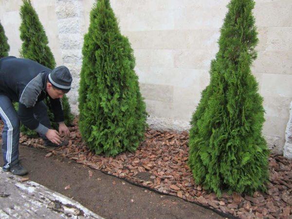 Мульча – покрытие, которое задержит жидкость, убережёт корни дерева при сильной смене температур
