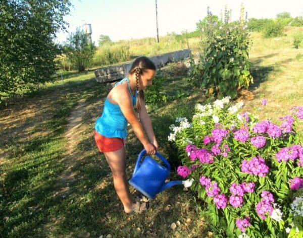 Флоксы – любители воды