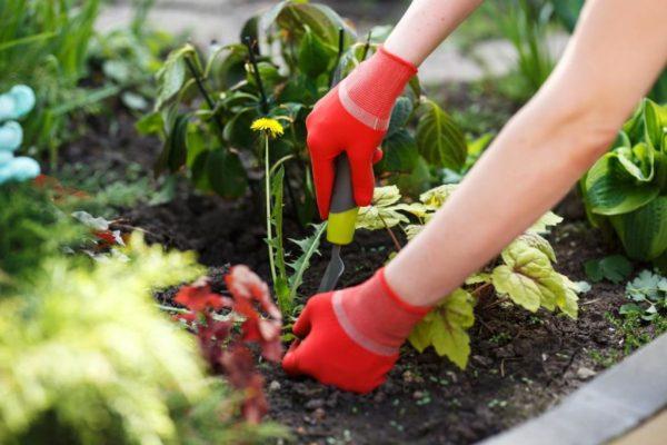 Не следует пренебрегать прополкой почвы вокруг флокса, ведь сорняки также способны навредить внешнему виду цветка