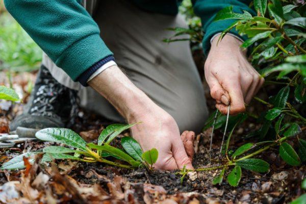 Нужно пригнуть стебель и присыпать растение землей примерно до середины