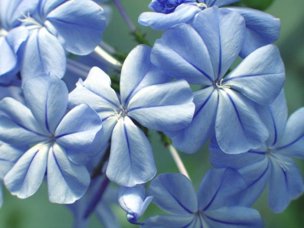 «Голубые мечты»