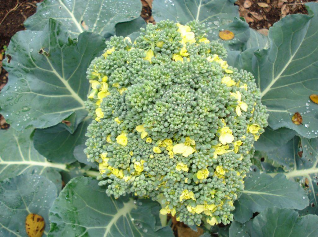 Цветение брокколи