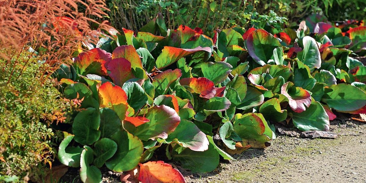 При избытке удобрений бадан может активно наращивать листья и не образует цветоносы