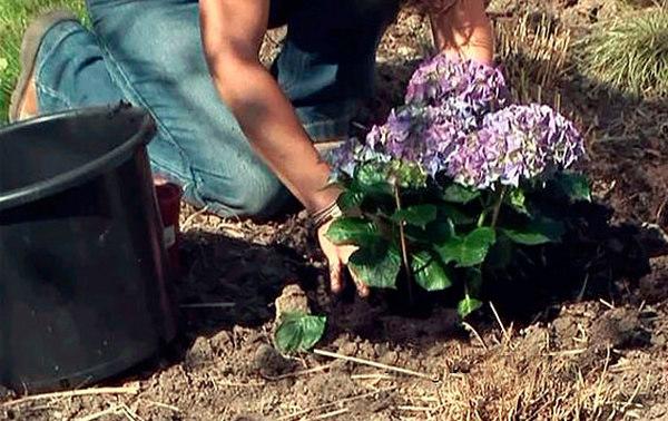 Проще всего приобрести цветущую гортензию и пересадить ее на нужное место