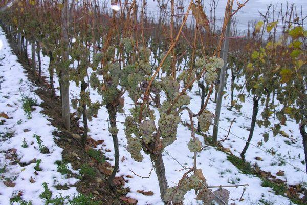 Такой виноград не портится даже при температуре -25