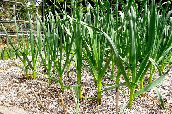 При высоких температурах все силы чеснока идут на образование луковицы