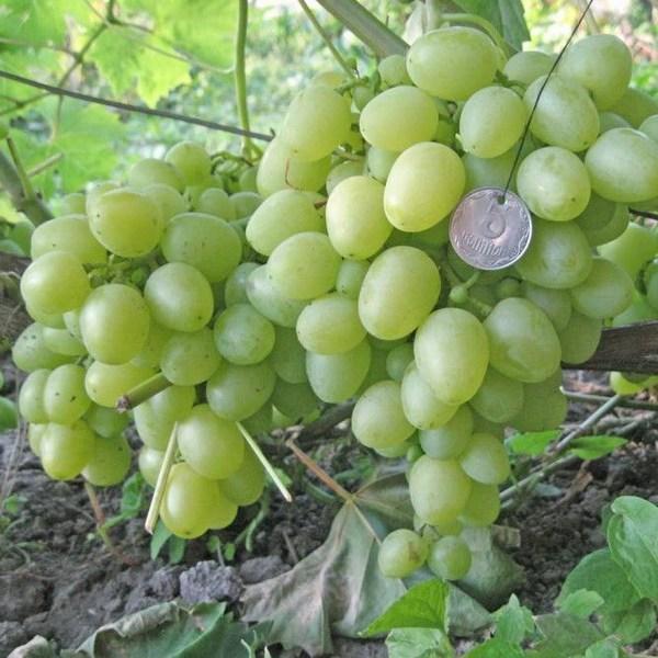 Виноград Восторг мускатный
