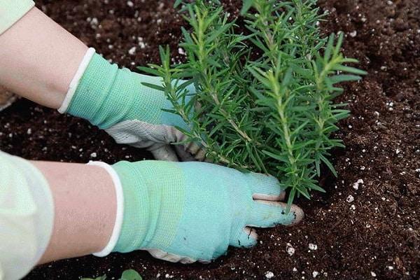Летом можно посадить розмарин в открытый грунт