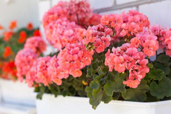 Среди комнатных растений больше всего дрожжи любит герань