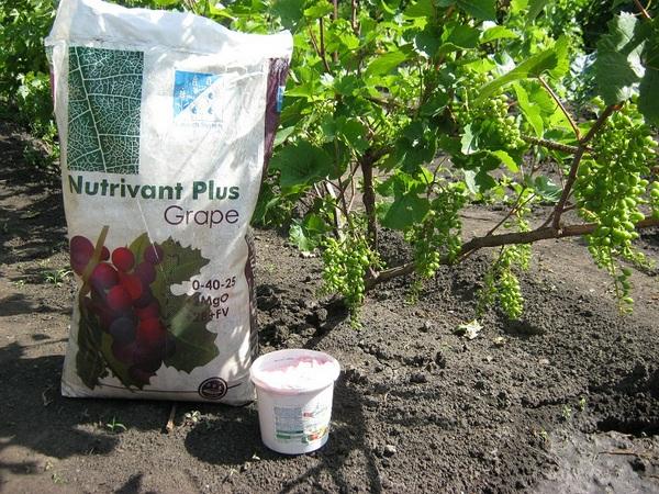 Поливать и подкармливать виноград нужно обязательно