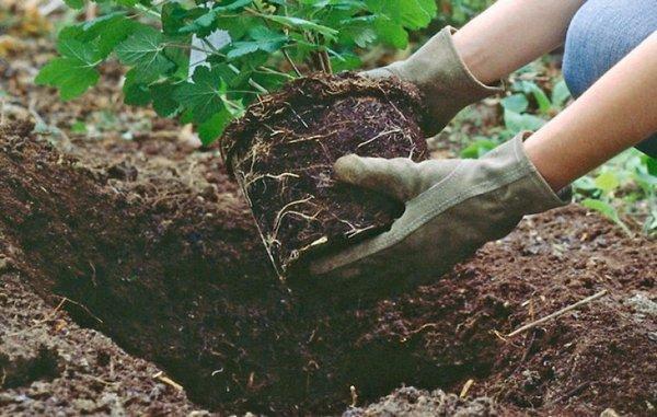 Важно, чтобы корневище было полностью прикрыто почвой