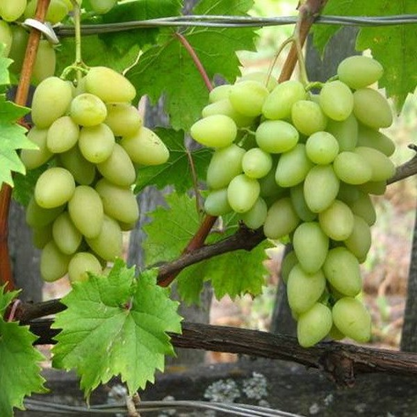 Виноград Елена