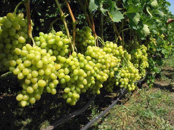 Дав винограду все необходимое, можно получить хороший урожай