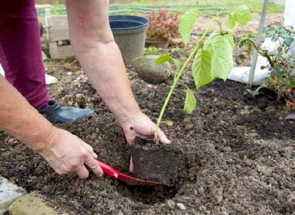 Маленькие веточки можно впоследствии посадить отдельно, тем самым получив еще несколько кустов