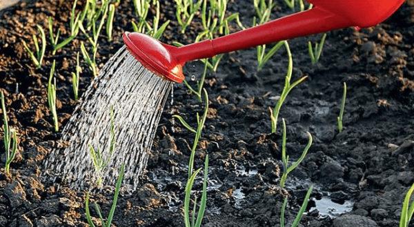 Полив способствует заполнению пустот и плотному прилеганию земли к зубчику
