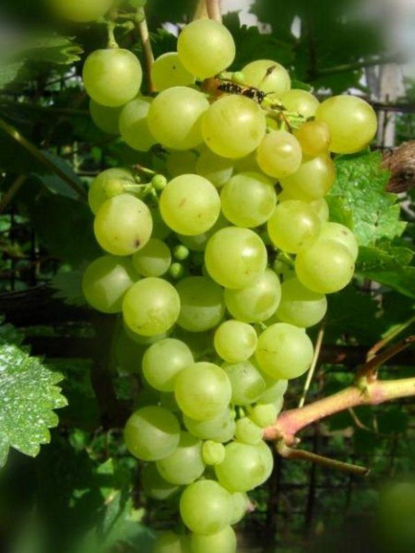 Этот виноград малоурожайный