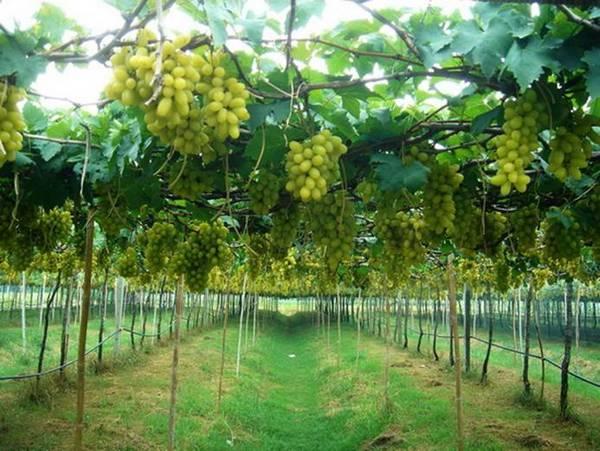 Такой виноград выращивают только в южных широтах