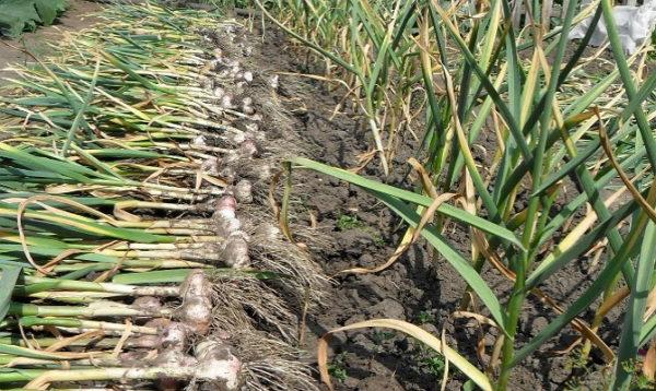 При ранней уборке теряется до 15% урожая