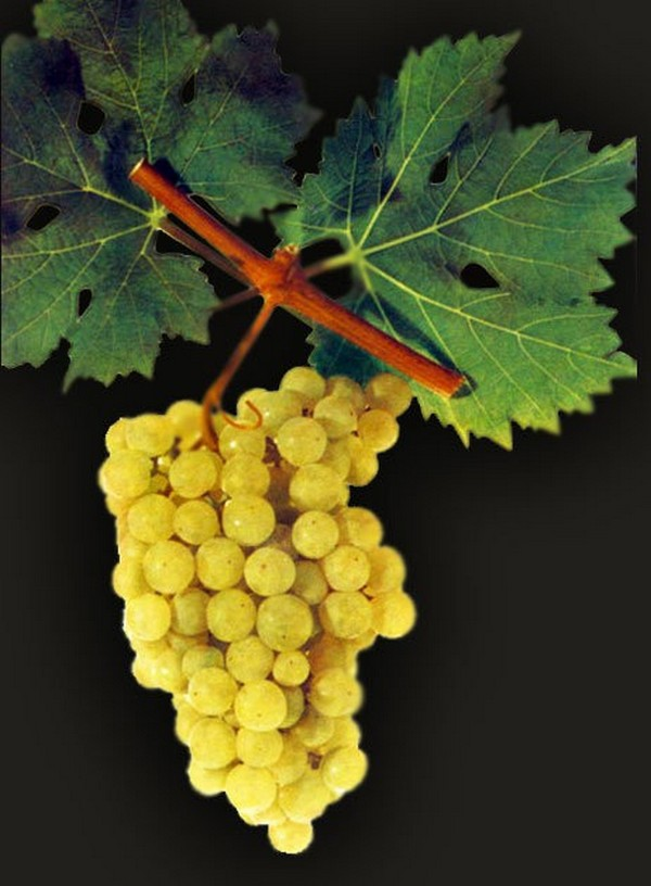 Виноград Золотистый ранний