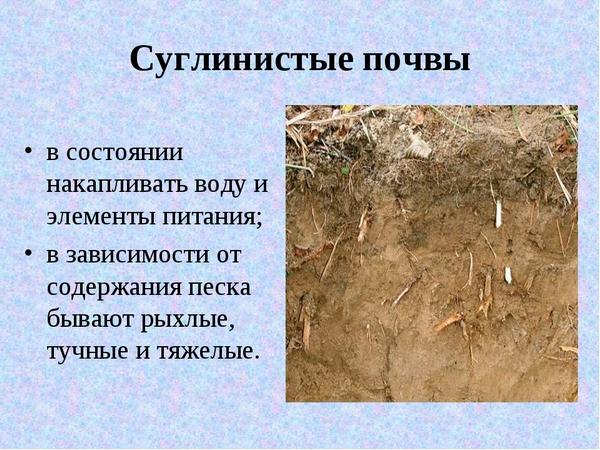 Лучше сажать мирабилис в суглинистую почву